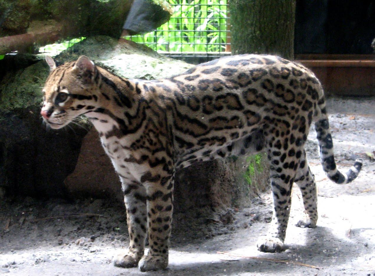 Ocelot Cat For Sale Florida