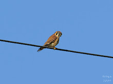 AMERICAN KESTRAL, female