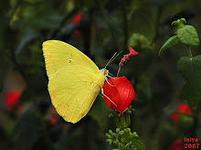 SULPHUR BUTTERFLY
