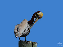 Brown Pelican chestnut neck