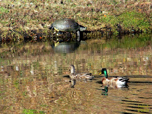 MALLARDS and REDEAR SLIDER