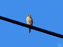 American Kestrel  Falco sparverius  female