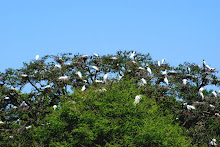 ALLIGATOR FARM ROOKERY