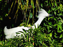 Snowy Egret ,Egretta thula