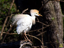 Cattle Egret, Bulbucus ibis