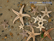 Starfishes become..more starfishes!