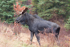Moose on hwy # 60 just along from Algonquin inn