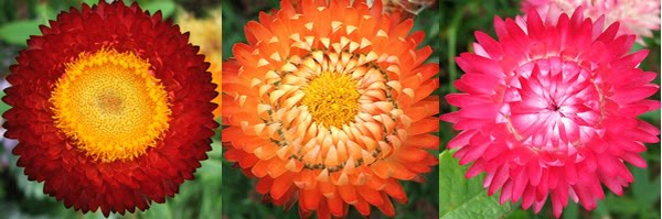 Gardening by passion winter flowers for north indiasep march helichrysumpaper flower common names some of the common names for helichrysum include curry plant immortelle licorice plant and strawflower mightylinksfo