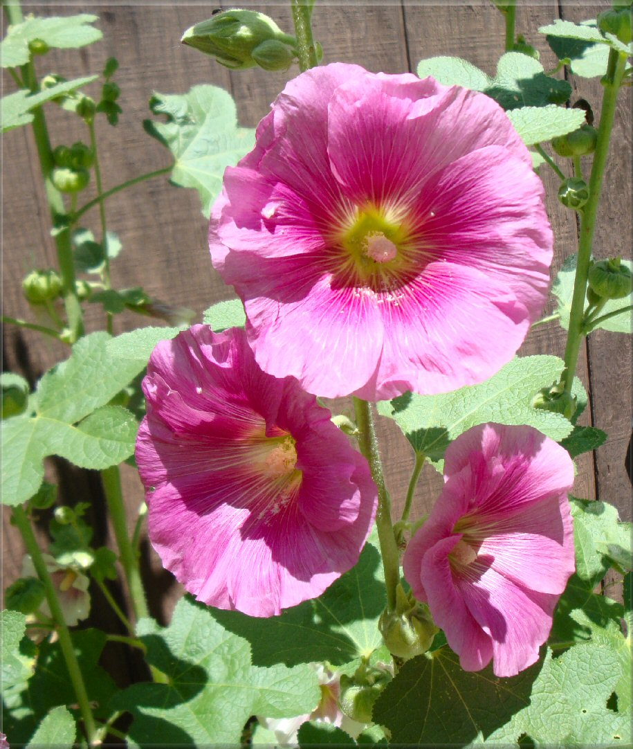dark pink hollyhocks image photo