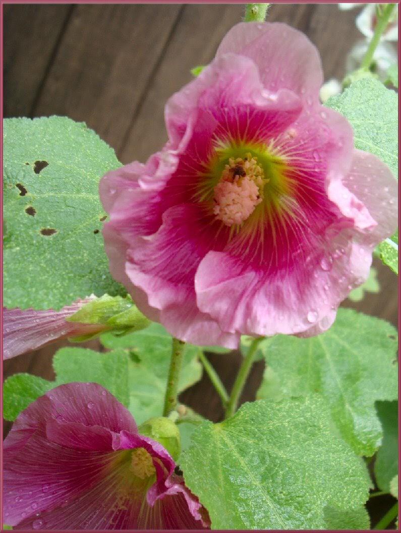 hollyhock dark pink bug eating pollen photo