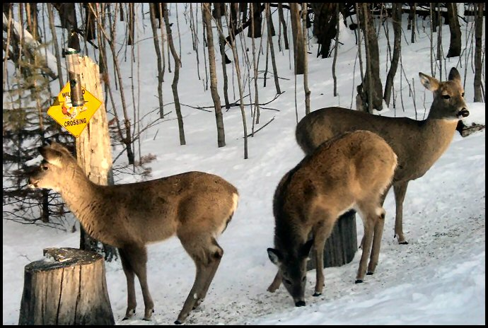 deer doe with fawn photo