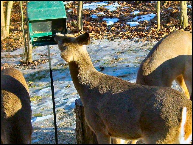 bird feeder raider - deer eat birdseed photo image