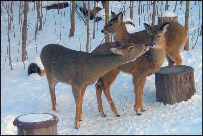 deer - doe and fawn kiss photo image