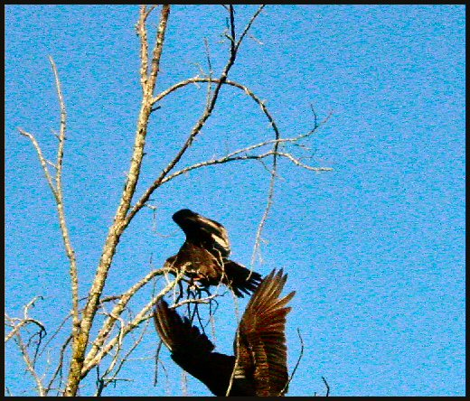 turkey vultures landing dead tree top like bones image