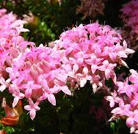Esperance wildflowers pink rice flower pimelea ferruginea pink rice flower pimelea ferruginea mightylinksfo