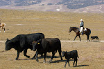 trailing cattle