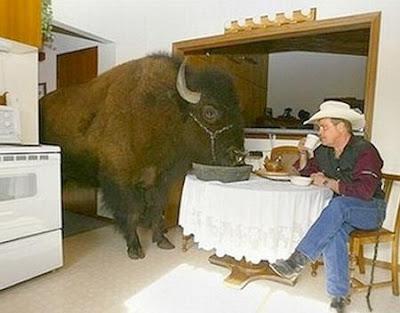 CowBoy tem um bufalo ou bizão de estimação, que come na cozinha.