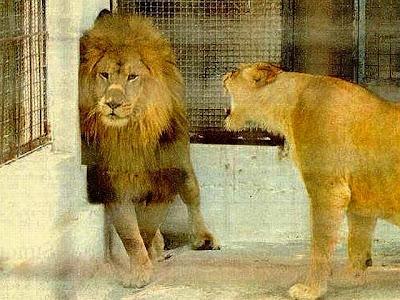 Homem Casado: Leão enjaulado e submisso à leoa.