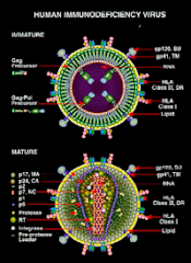 Immature and mature forms of HIV