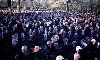 Turkeys, turkeys, everywhere...