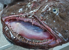 Monkfish