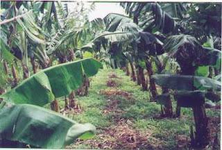 enfermedad en el cultivo de la pina: