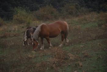 Els cavalls s'hi troben bé en els prats de Solanell