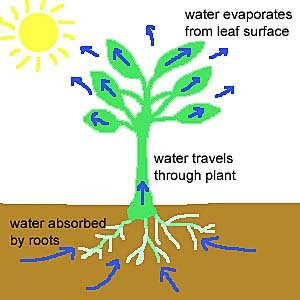 importance of transpiration