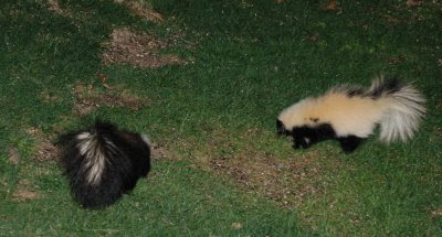 Two skunks below the bird feeder, one mostly black, one mostly white