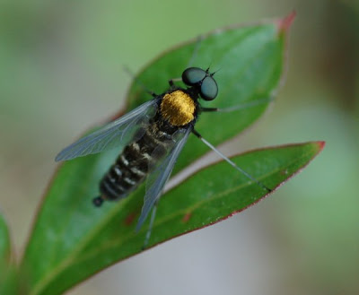 Male rhagionid fly