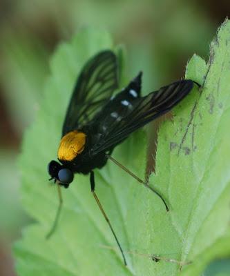 Rhagionid fly