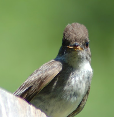 Adult phoebe with grasshopper, eye contact