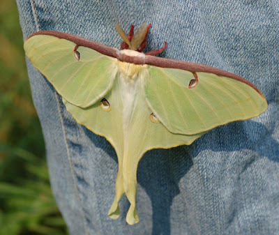 Luna moth with wings spread