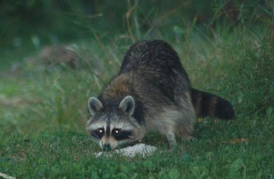 Raccoon eating coleslaw