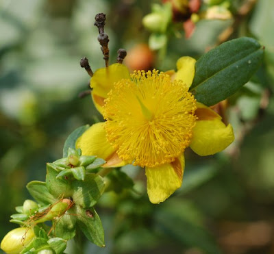 Shrubby St. John's Wort flowers, buds and leaves