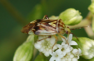 Lygus vanduzeei, a pretty plant bug, on a White Snake Root inflorescence