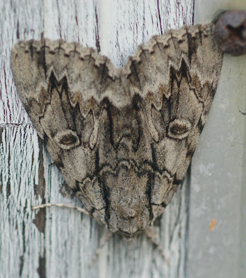 Underwing moth, cryptic forewings