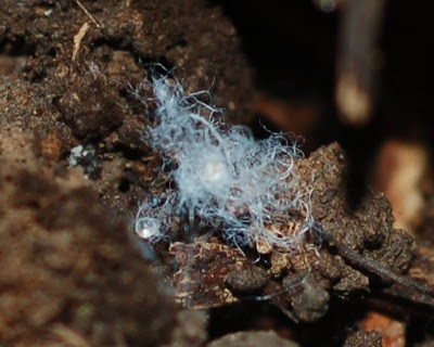 Fluffy blue fibers under a rock--perhaps mycelium?