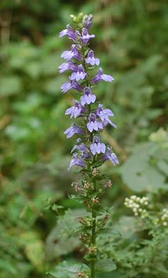 Lobelia siphilitica plant