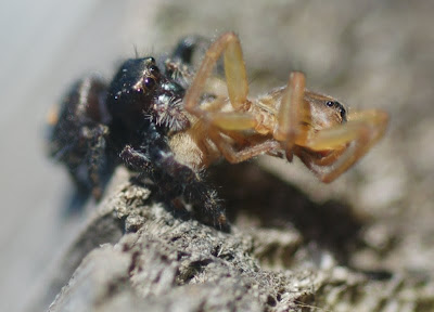 Salticid spider eating another spider