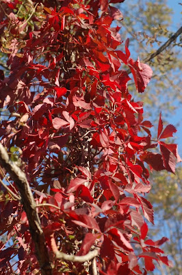 Red Virginia creeper leaves