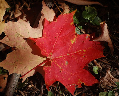 Sugar maple leaf, red and fallen, in a patch of sun