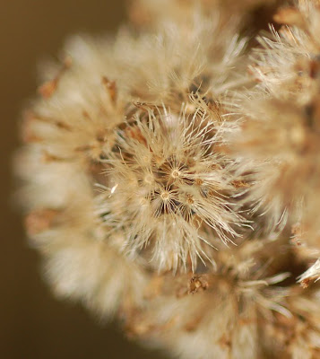 White snakeroot seeds