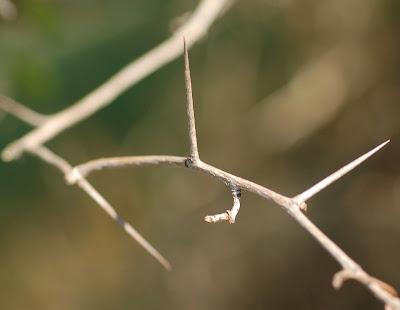 Thorny hawthorn branch