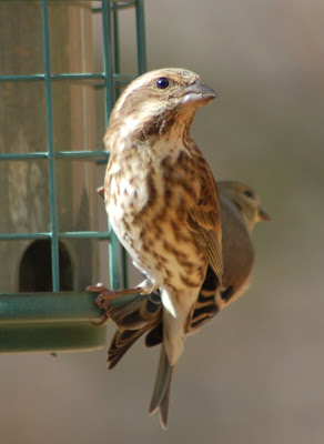 Female Purple Finch on Bird Feeder