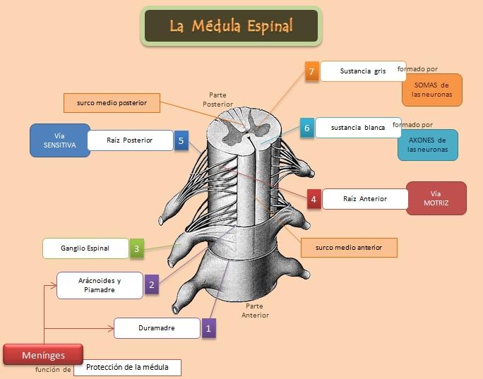 Médula Espinal - Anatomía del Sistema Nervioso