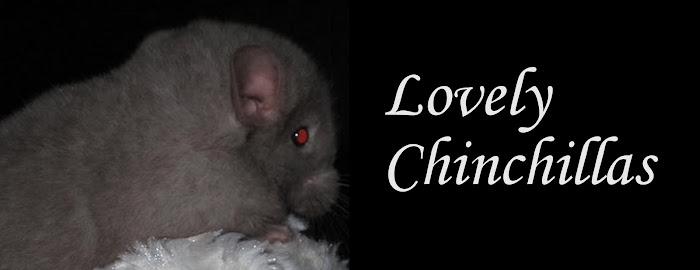 Lovely Chinchillas