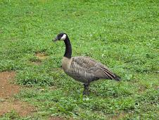 Venture- Canada Goose