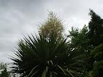 Flowering Australis