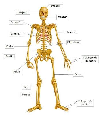 Recursos Infantiles: Los huesos